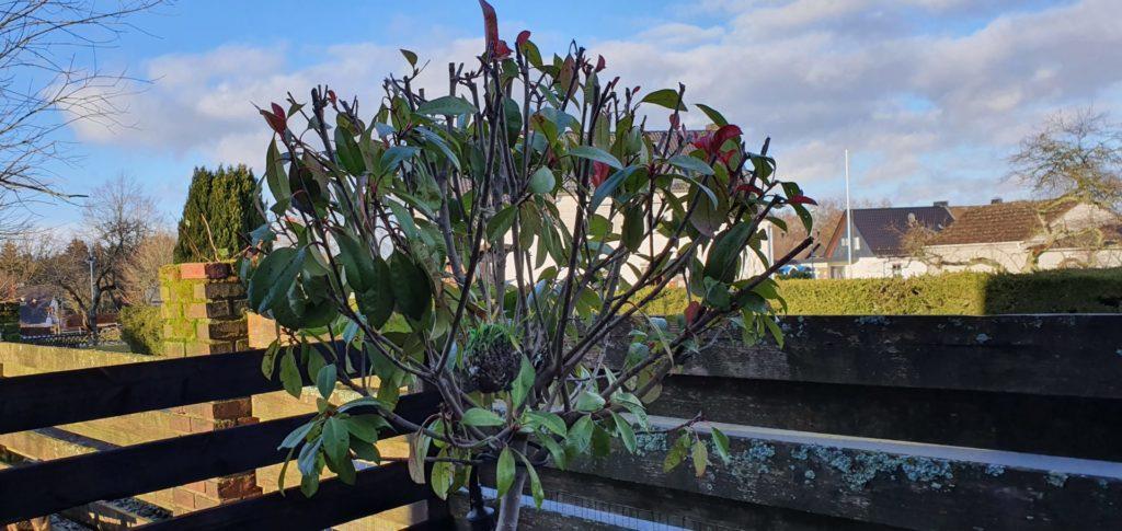 Kleiner Baum im Kübel im Winter