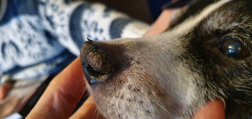 Hund Leishmaniose leishmanien Nase Kruste