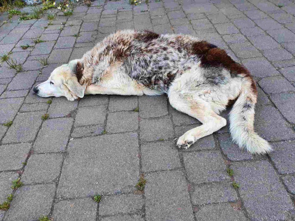 Hund mit MDR1 Gendefekt