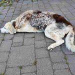 Hunde MDR1-Mangel - Gendefekt