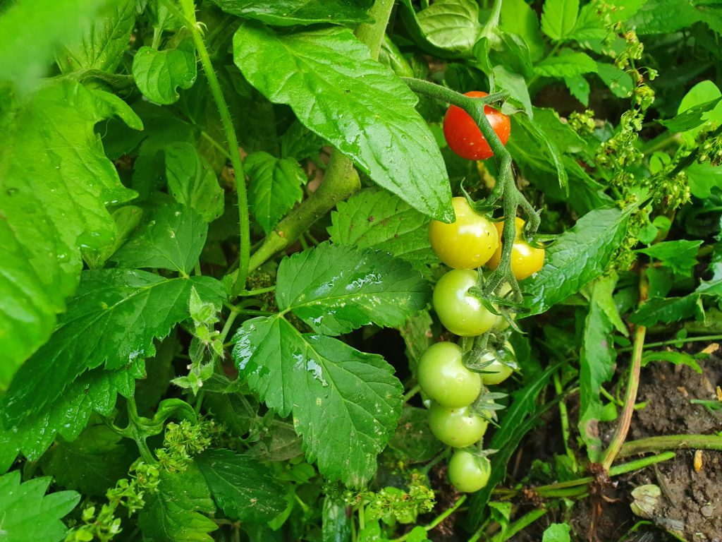 Unreife Tomaten aus eigenem Garten - Gewächshaus Eifel