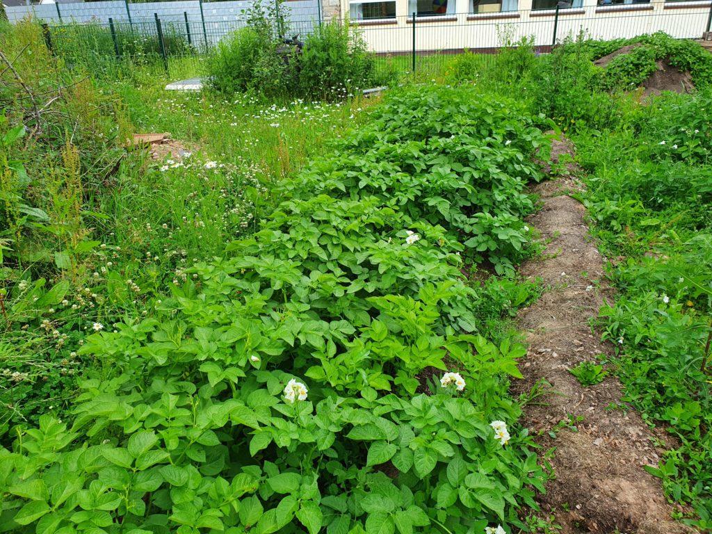 Bio Kartoffel aus dem eigenen Garten kurz vor der Ernte